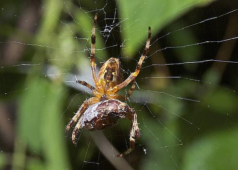 Michael Peychich - Garden Spider with a June Bug
