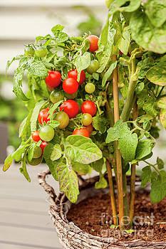 Sophie McAulay - Garden tomato plant