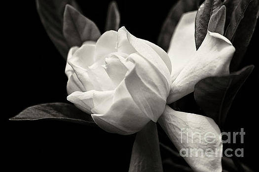 Jill Lang - Gardenia Bloom in Black and White