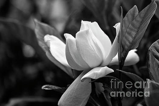 Jill Lang - Gardenia in Black and White