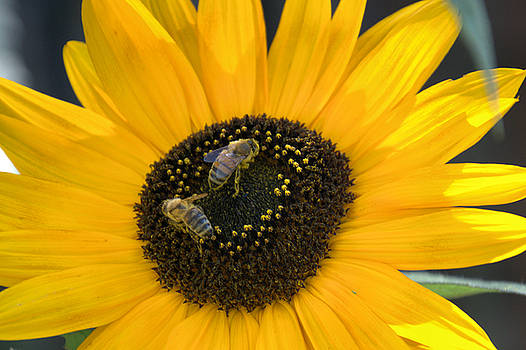 Gather Ye Pollen While Ye May by Jim Walls PhotoArtist