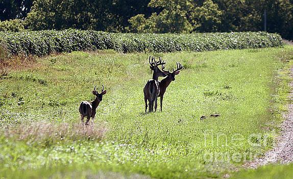 Gathering of bucks by Lori Tordsen