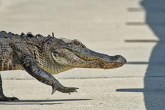 Gator Crossing the Road by TJ Baccari