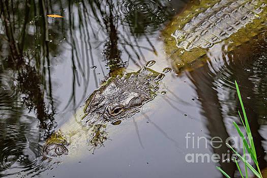 Gator in the Bayou by Joan McCool