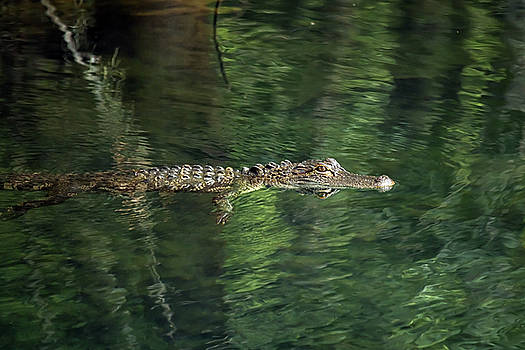 Gator in the Spring by Travis Rogers