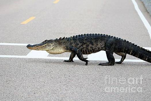 Paulette Thomas - Gator Jay Walking