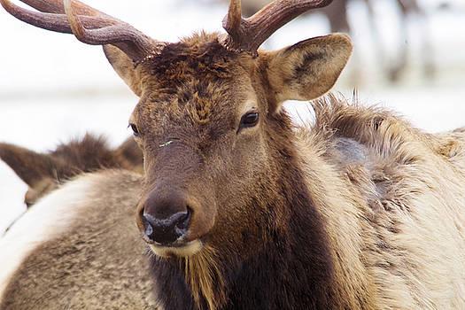 Gaze from a bull elk by Jeff Swan
