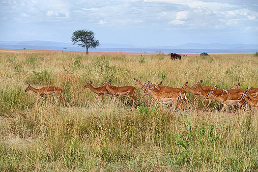 Gazelles by Balram Panikkaserry