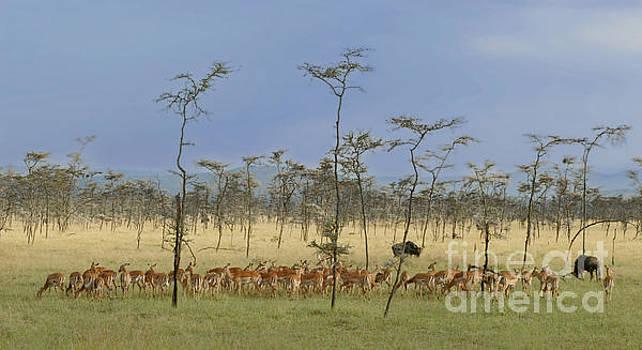 Robert Abramson - Gazelles, Africa