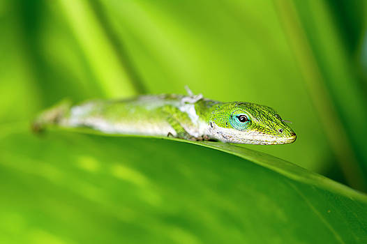 Gecko in rainforest by Joe Belanger