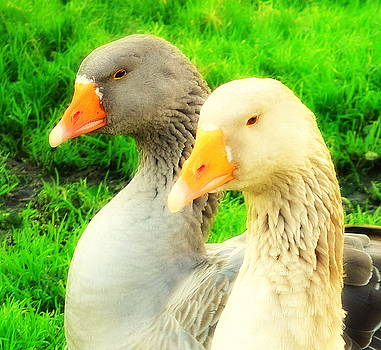 Geese have strong affections for others in their group by Hilde Widerberg