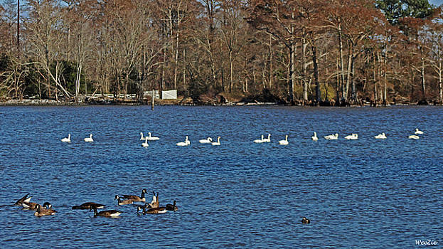 Geese and Ducks by Carolyn Ricks