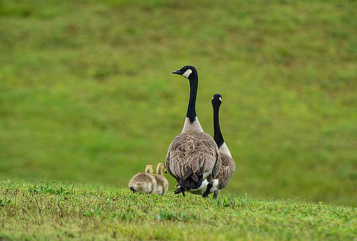 Geese and Goslings Going Downhill 052120152140 by WildBird Photographs