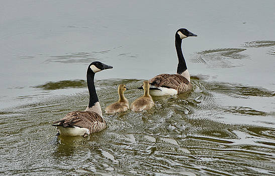 Geese and Goslings In The Water 052120152150 by WildBird Photographs