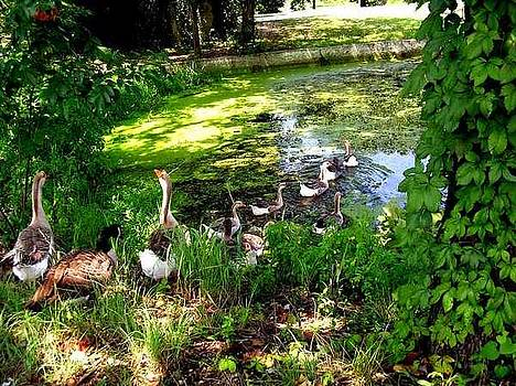 Geese At Mammoth Spring by Scarlett Chambers