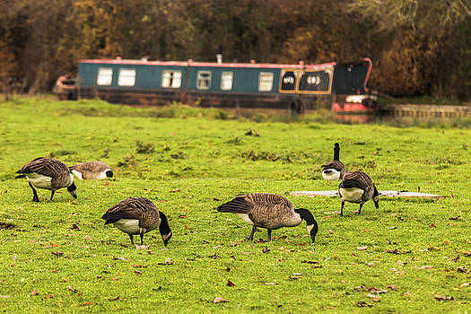 ReDi Fotografie - Geese at the Grand Union Canal