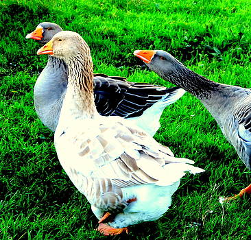 A couple of friendly geese and one goose ready for a fight  by Hilde Widerberg