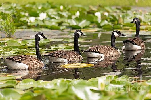 Geese In A Row by Mary Lou Chmura
