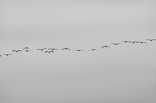 Geese in a row by Richard Verkuyl