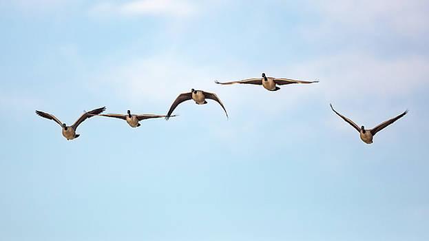 Geese in Flight 2018 by Bill Wakeley