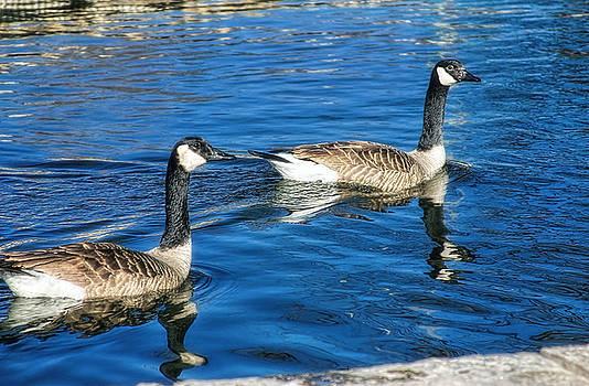 Geese by Joan Bertucci