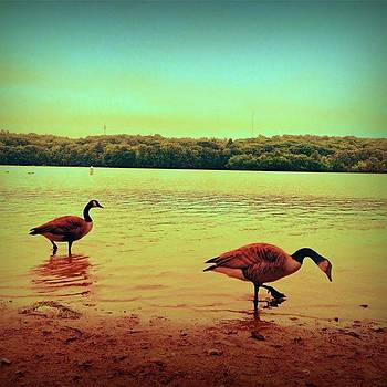 Geese On Beach In Water by Amanda Richter