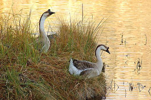 Geese on Island by Robert Anschutz