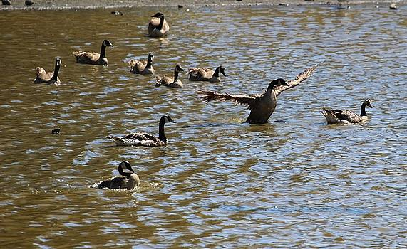 Gary Canant - Geese on Lake June 27 2015