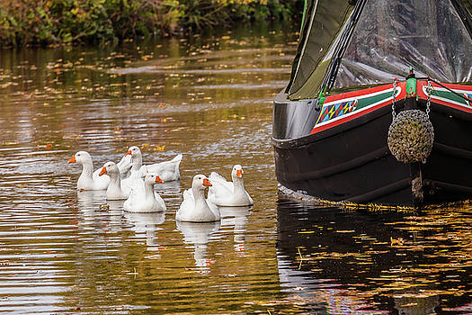 ReDi Fotografie - Geese on the Llangollen Canal