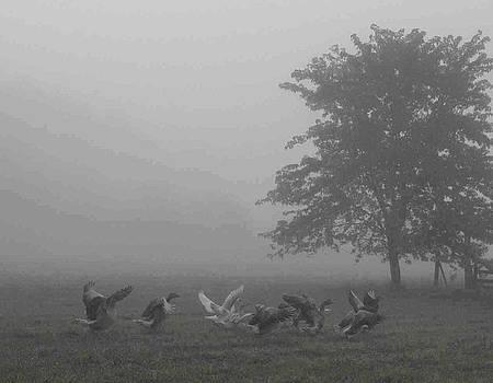 Geese running in a foggy field by Matt Cormons
