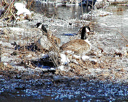 Geese served over ice by Martha Ayotte