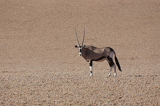 Gemsbok by Jaqueline Briel