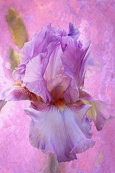 Gentle Lavender Iris by Phyllis Denton