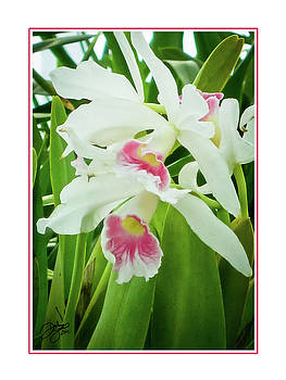 Gentle Orchids by Darlene Smithers