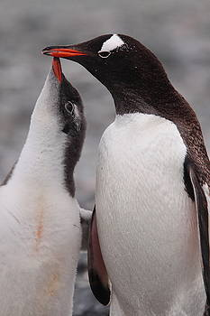 Gentoo Penguin Parenting by Bruce J Robinson