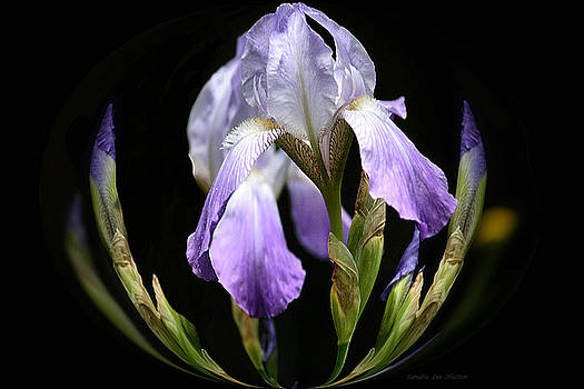 Sandra Huston - Geometric Bearded Iris