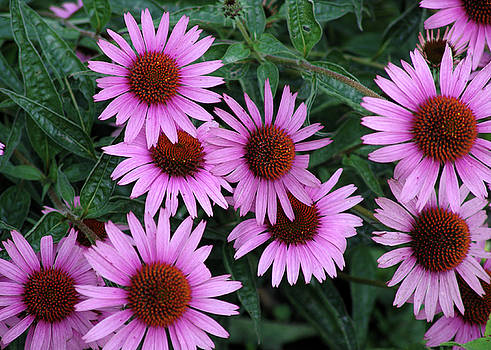 Geometric Echinacea by Don White