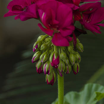 Geranium 1 by Billy Stovall