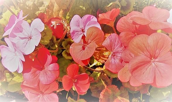 Geranium by Ann Johndro-Collins