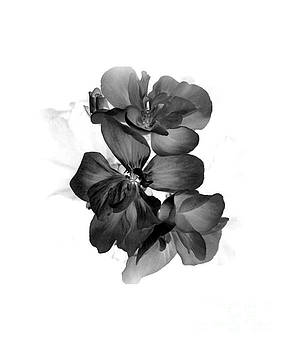 Geranium Black by Ioanna Papanikolaou