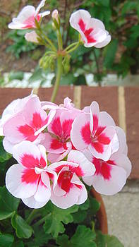 Geranium Pink Flowers by Charlotte Gray