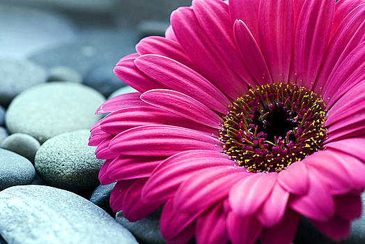 Gerber Daisy in Pebbles by Helen Stapleton