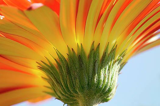 Gerber Daisy by Julie Underwood