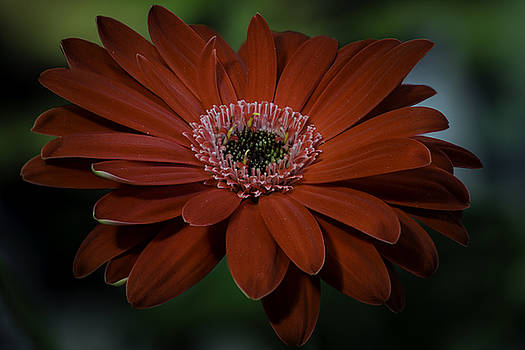Gerber Daisy by Rod Sterling