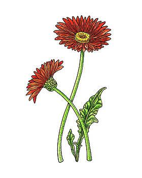 Gerbera Daisy Botanical Watercolor by Irina Sztukowski