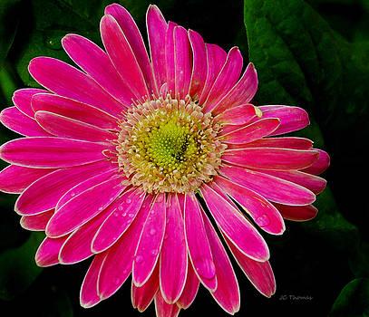 Gerbera Daisy by James C Thomas