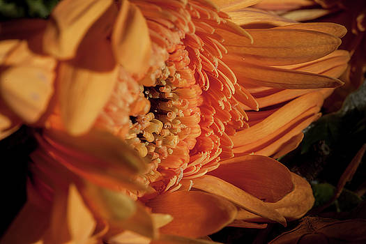 Gerbera in the sunshine by Alex Saunders