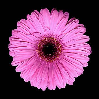 Christopher Gruver - Gerbera Pink One