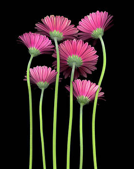 Christopher Gruver - Gerbera Red Group