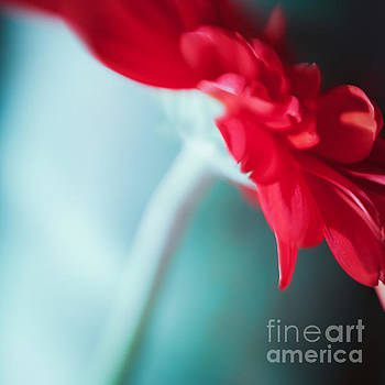 Gerbera Red II by Lisa McStamp